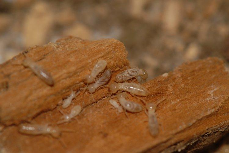 Termites de la famille des insectes à larves xylophages